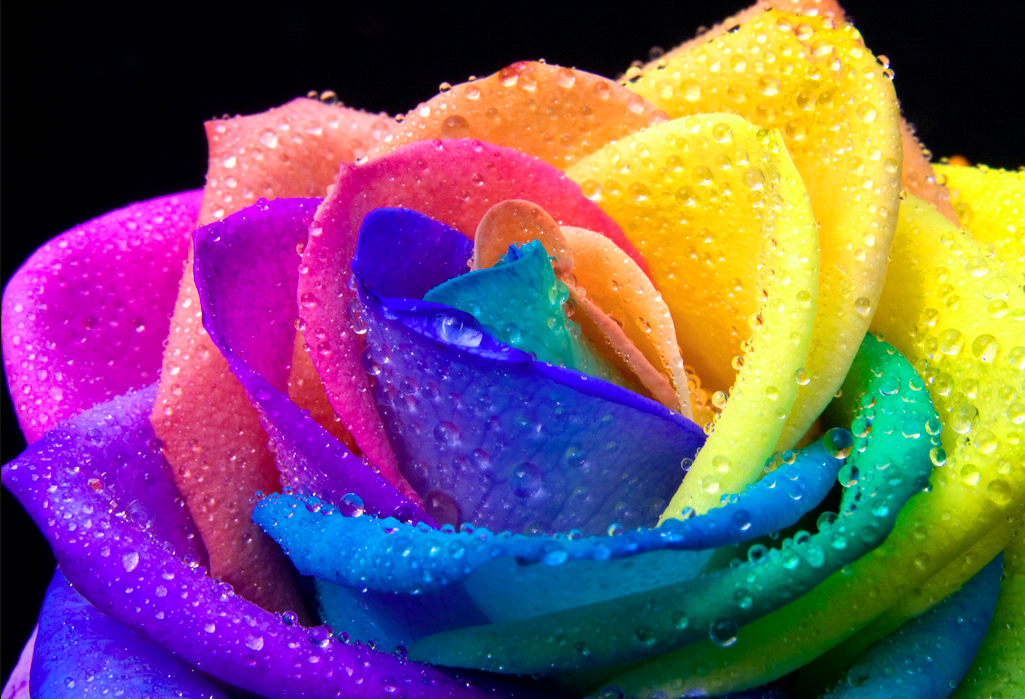 The rainbow rose is a rose which has had its petals for Rainbow petals