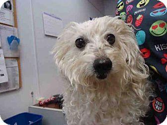 Fairfield Ca Poodle Miniature Maltese Mix Meet Malory A Dog For Adoption Http Www Adoptapet Com Pet 17469483 Fairfi Pets Kitten Adoption Dog Adoption