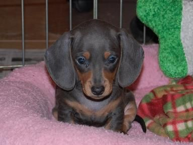 Blue And Tan Daschund Dachshund Puppies For Sale Dachshund