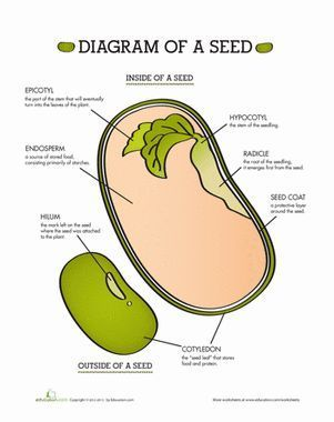 Lima Bean Seed Diagram Wiring Diagrams For Trailer Lights Parts Of A | Biology And Life Science Lessons Science, Plant Education
