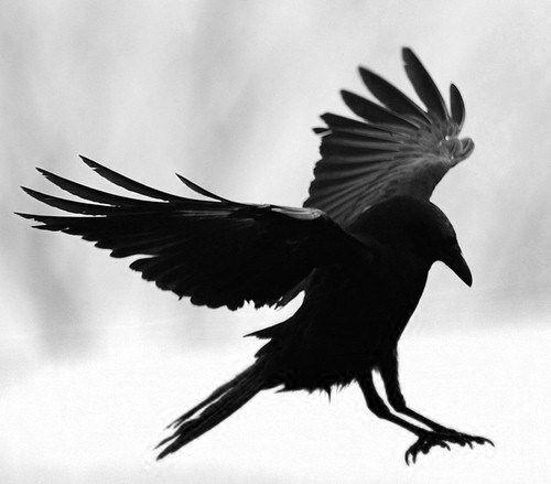 Fleur morbide corbeau tatouage corbeau corneille et - Dessin oiseau en vol ...