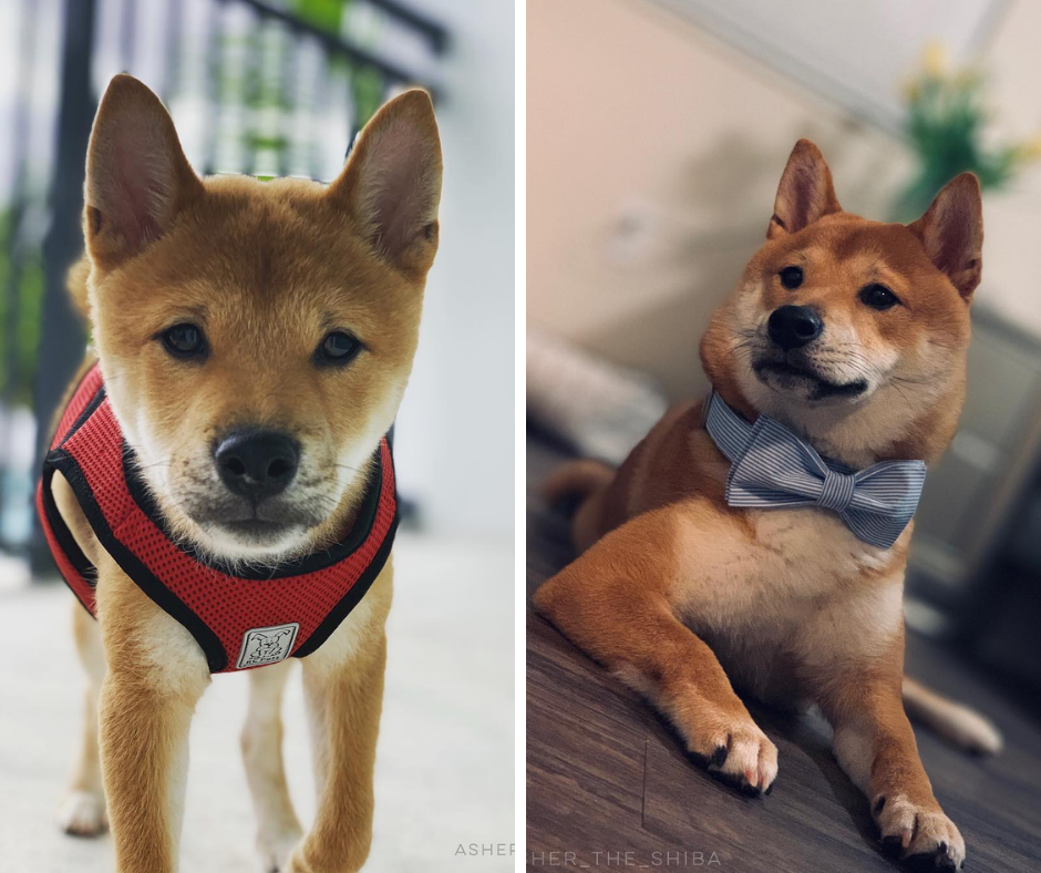 We Are So Happy To See This Before And After Picture Of Asher The Shiba Inu It Shows That Puppies Get Even Cuter With Age Puppies Dog Lovers Shiba Inu