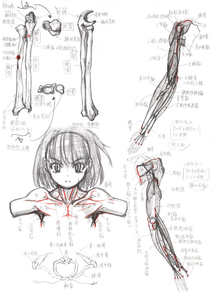 Female Arm Shoulder Anatoma Pinterest Shoulder Anatomy And