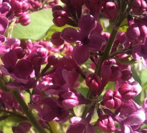 Lovin lilacs