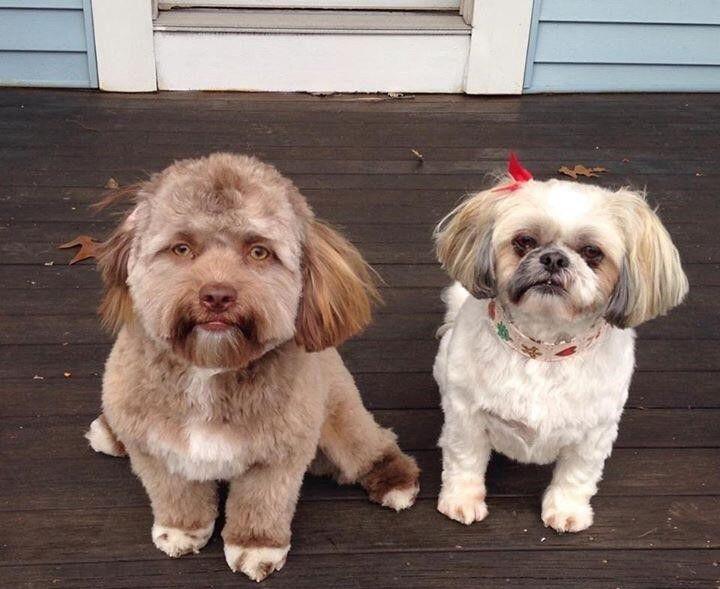 Знакомьтесь, это Йоги — пёс с человеческим лицом   Смешные ...