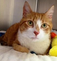 Adopt Stinky Declawed On Orange White Cat Cats Types Of Cats