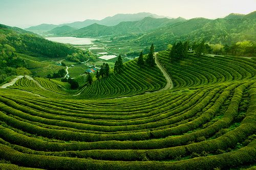 BOSEONG 대한다뭔 Daehan Dawon Green Tea Plantation