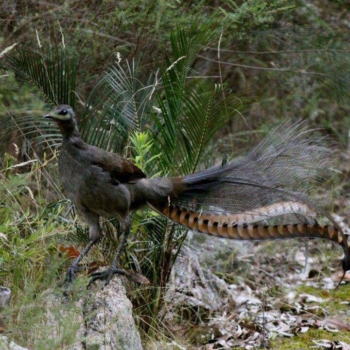 lyrebirds are famous australian native birds there are two species