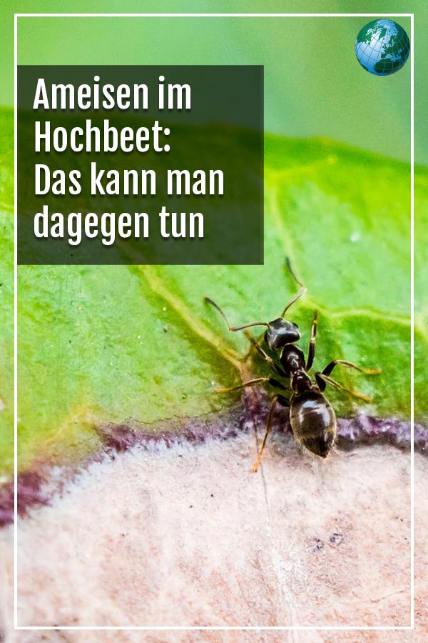 Ameisen Im Hochbeet Das Konnen Sie Dagegen Tun Ameisen Im Hochbeet Ameisen Ameisen Im Garten