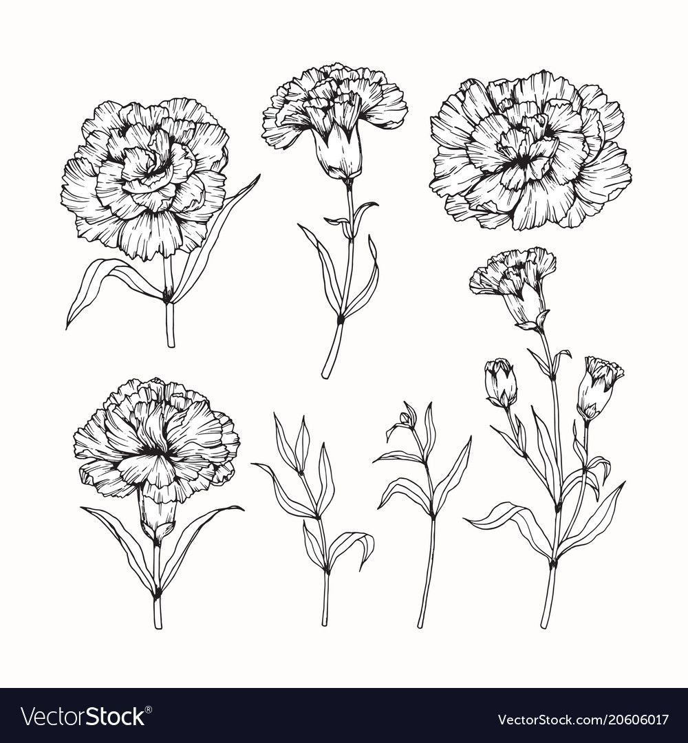 Carnation Flower Drawing Royalty Free In 2020 Carnation Flower Tattoo Carnation Tattoo Flower Tattoo Sleeve