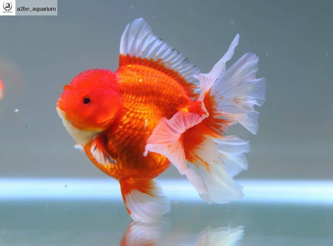 Freshwater Fish Community On Instagram Repost From A2be Aquarium Full Round Rose Tail Oranda Goldfish Goldfishkeeper Ikan Akuarium Ikan Mas Akuarium