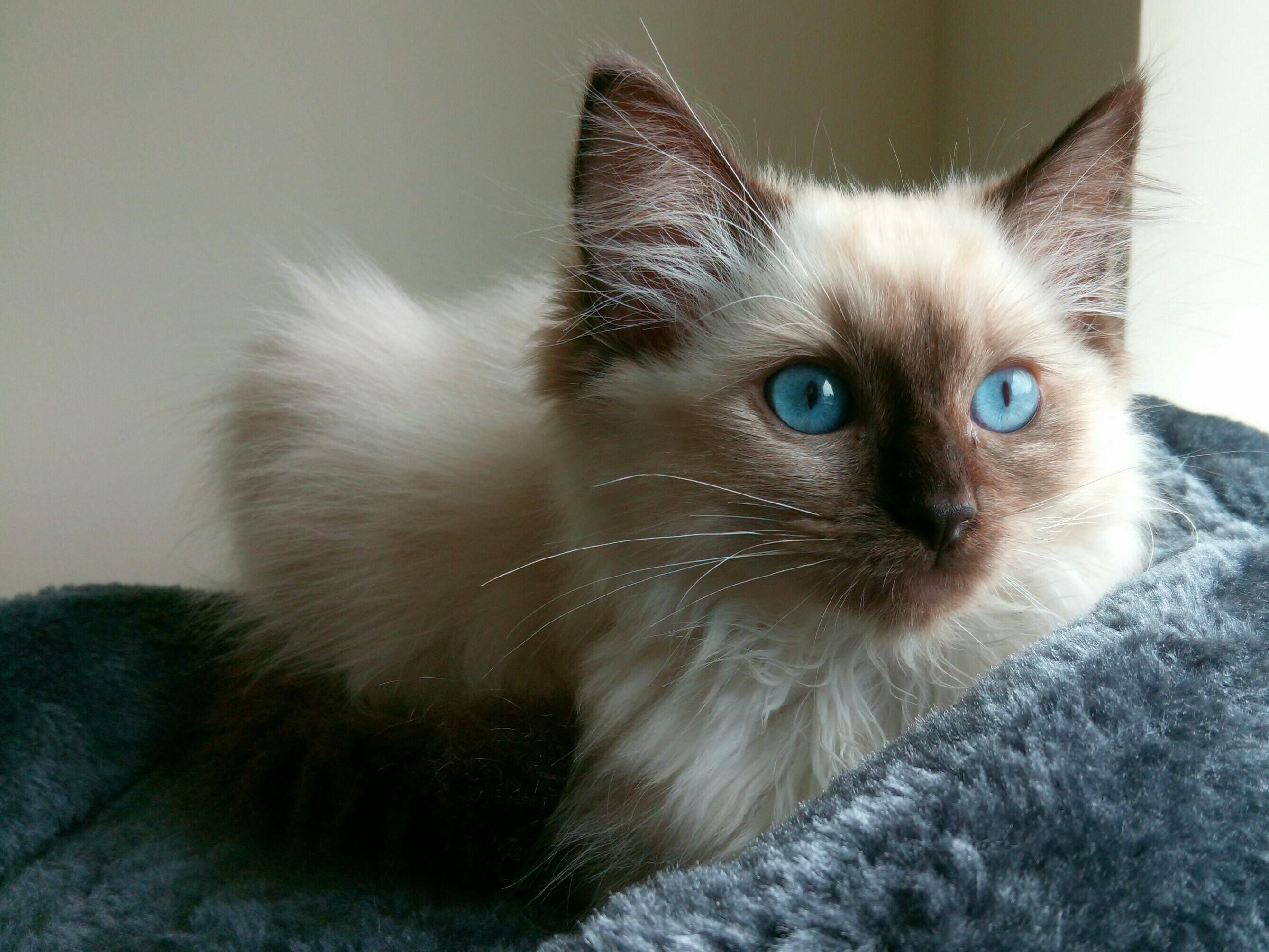Magnus - 12 week old ragdoll kitten | Everything kitty | Pinterest ...