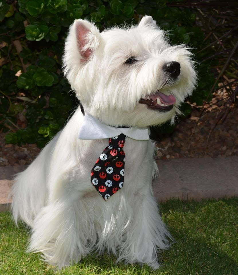 Westie with a tie! Oh so handsome :)
