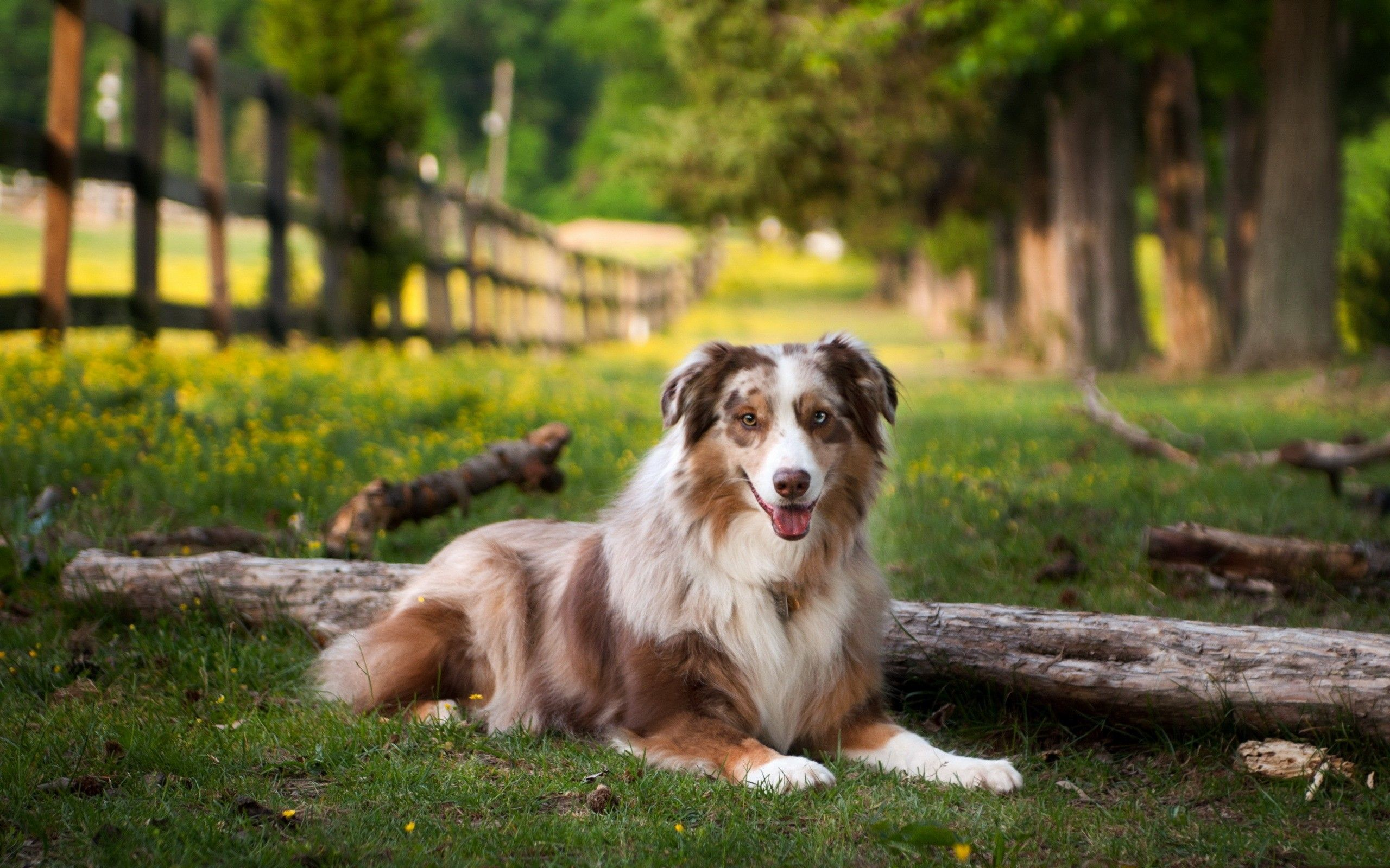 Buy Kci Registered Puppies Dogs For Sale In India Dogs For Adoption In India Dogs Price In India Dogs And Pup Aussie Dogs Dog Pictures Australian Shepherd
