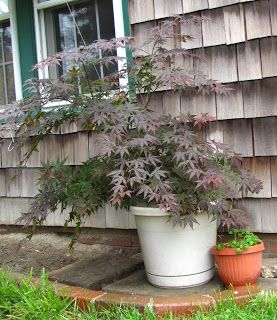 Potted Japanese maple grown from seedling