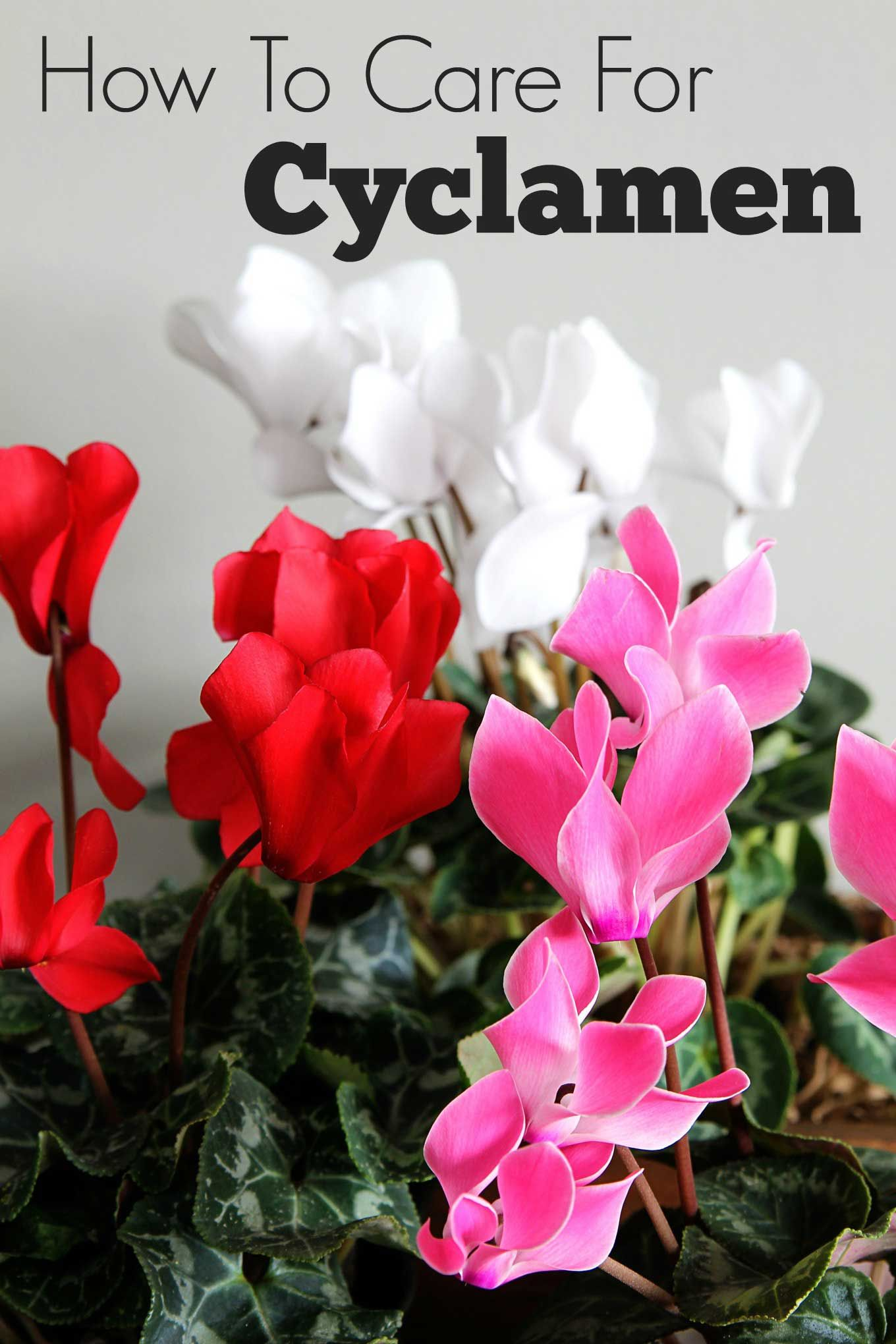 cyclamen flower care instructions