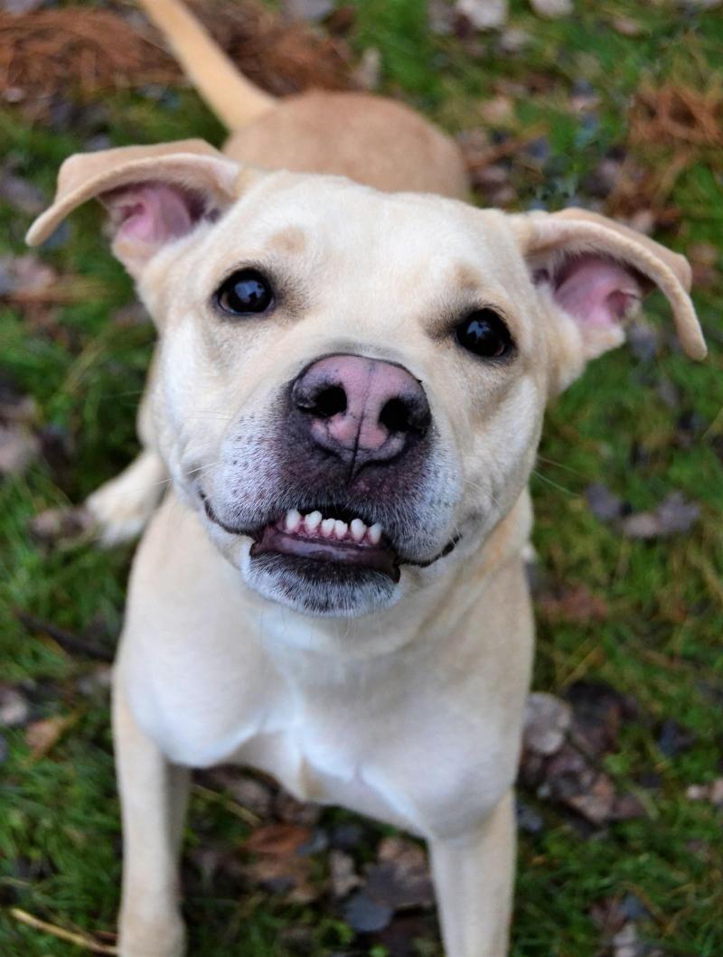 Adopt Chada on Labrador retriever mix, Labrador