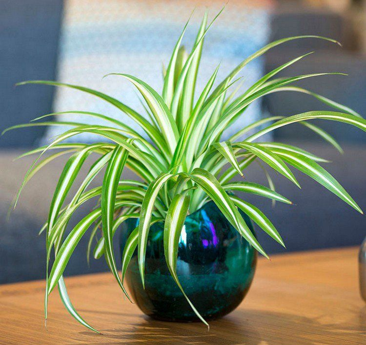 plantes vertes d 39 int rieur chlorophytum comosum en pot. Black Bedroom Furniture Sets. Home Design Ideas