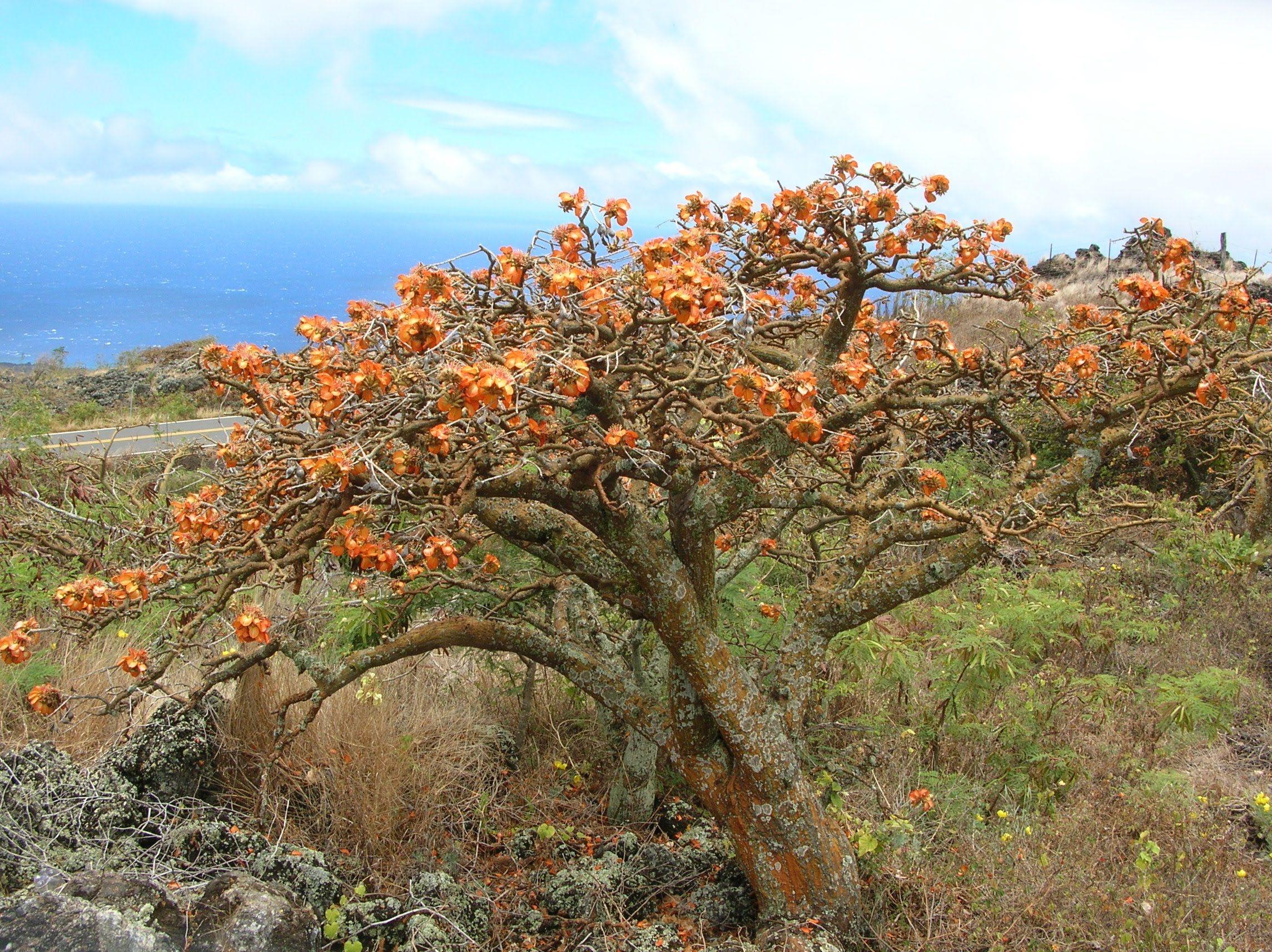 Wiliwili - Native Hawaiian Garden (NHG121215)   Big Island Ideas ...