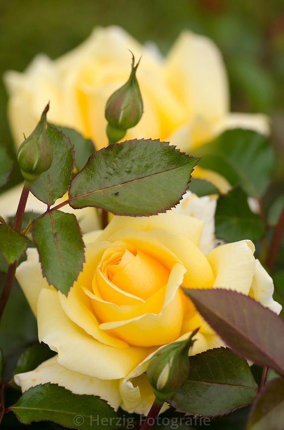 "Bildarchiv Rosa ""Winter Sun"" - Rose by Herzig - Fotografie"
