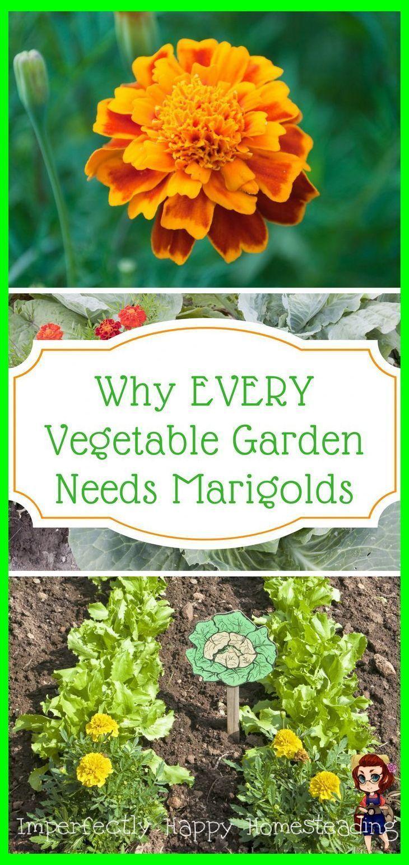 Marigolds in the Vegetable Garden 6 Important Things They Do | Raised Vegetable Garden | Gard #marigoldsingarden Marigolds in the Vegetable Garden 6 Important Things They Do | Raised Vegetable Garden | Gard #marigoldsingarden