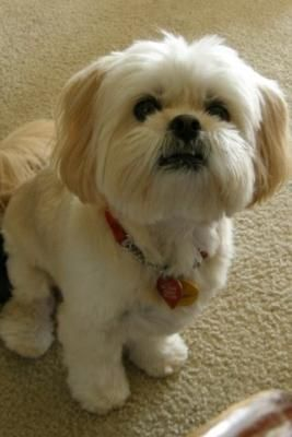 The Origin Of Shih Tzu Is Ancient And Is Covered In A Lot Of