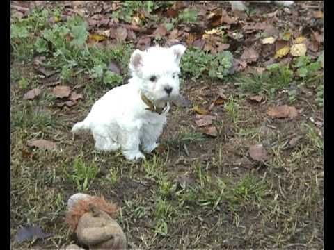 Miss Maggie The Westie YouTube (With images) Westies