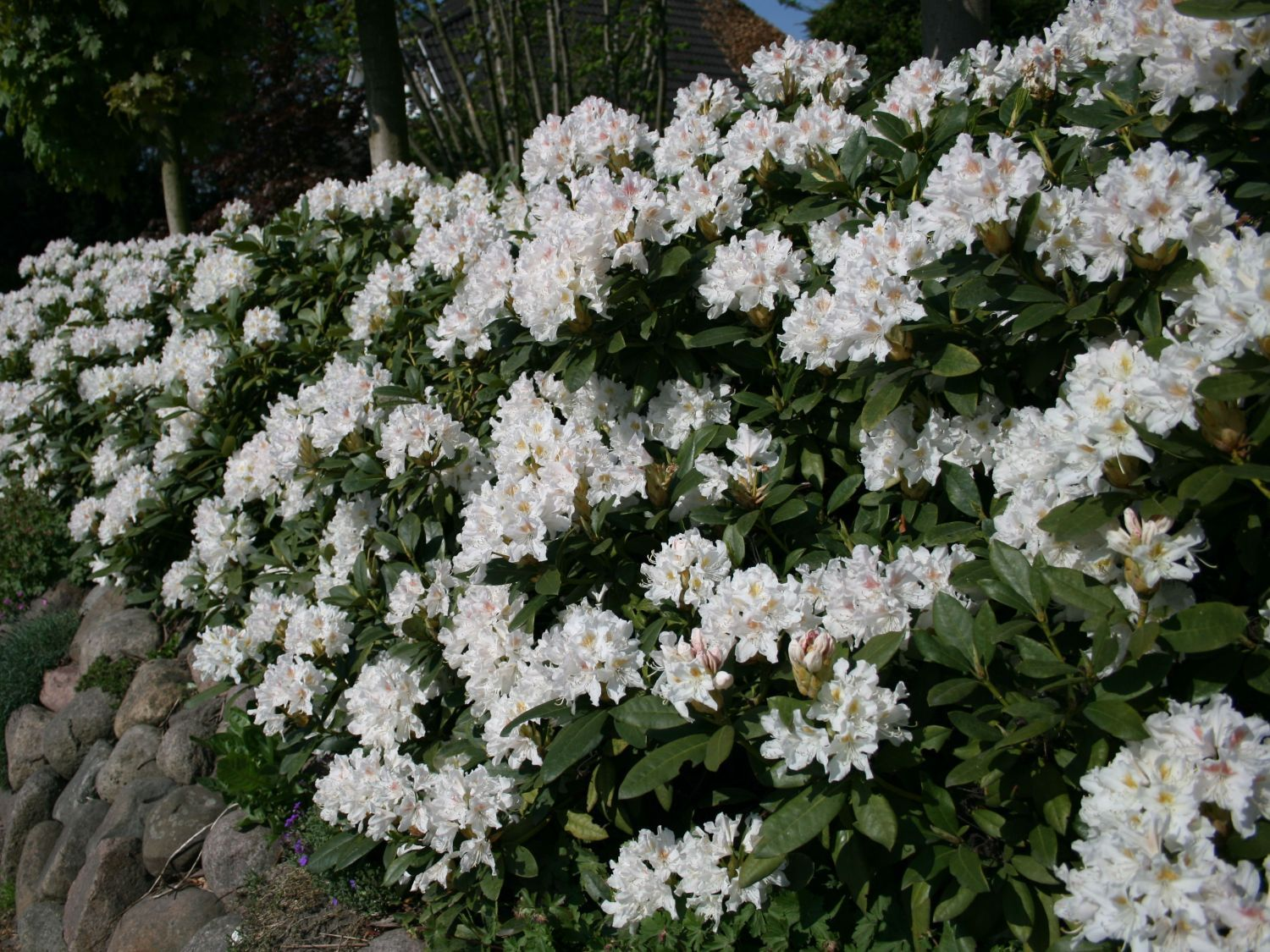 rhododendron 39 cunningham 39 s white 39 rhododendron hybride