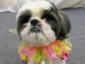 Pittsburgh Pa Bandito Is An Adoptable Shih Tzu Dog In Pittsburgh Pa Hi Thanks For Giving Me Some Attention Id Lik Dog Adoption Small Dog Breeds Pet Life