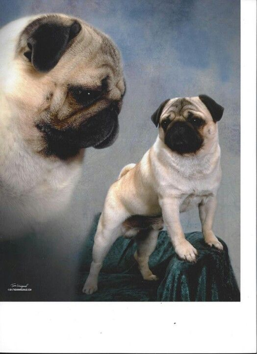 We Need To Take Louie S Pic Like This Cute Dog Photos Pug Love