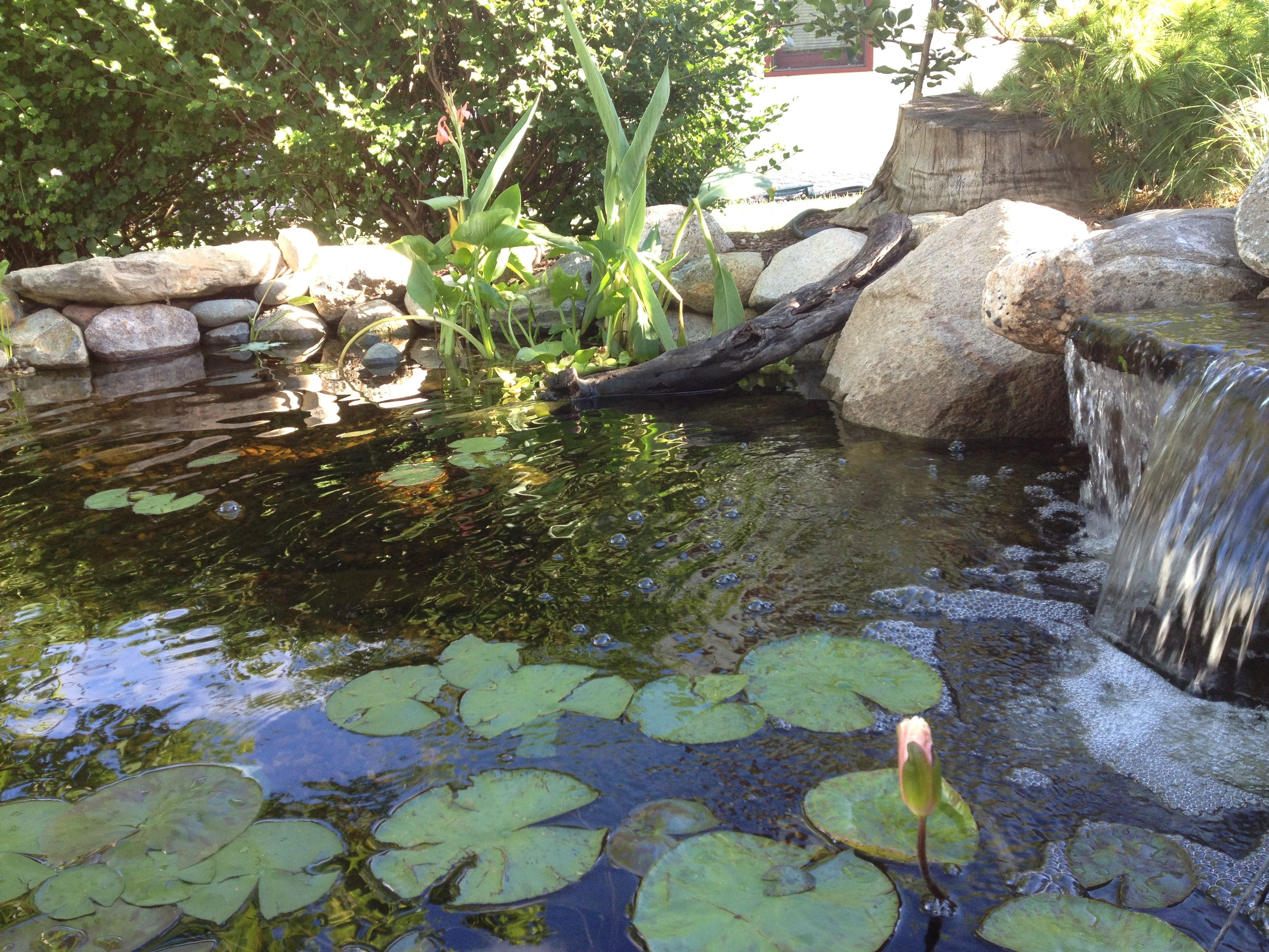 Minnesota small backyard pond with a waterfall and bog for Backyard pond maintenance