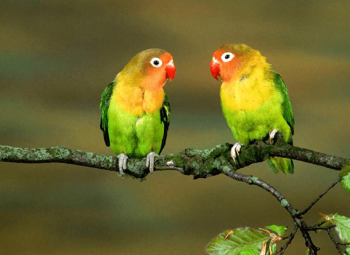 Lovebird Behavior Birds Of Paradise Lovebirds Healt Diet And Care Pet Birds Animals Birds Wallpaper Hd