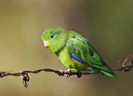 pássaro tuim - Pesquisa Google