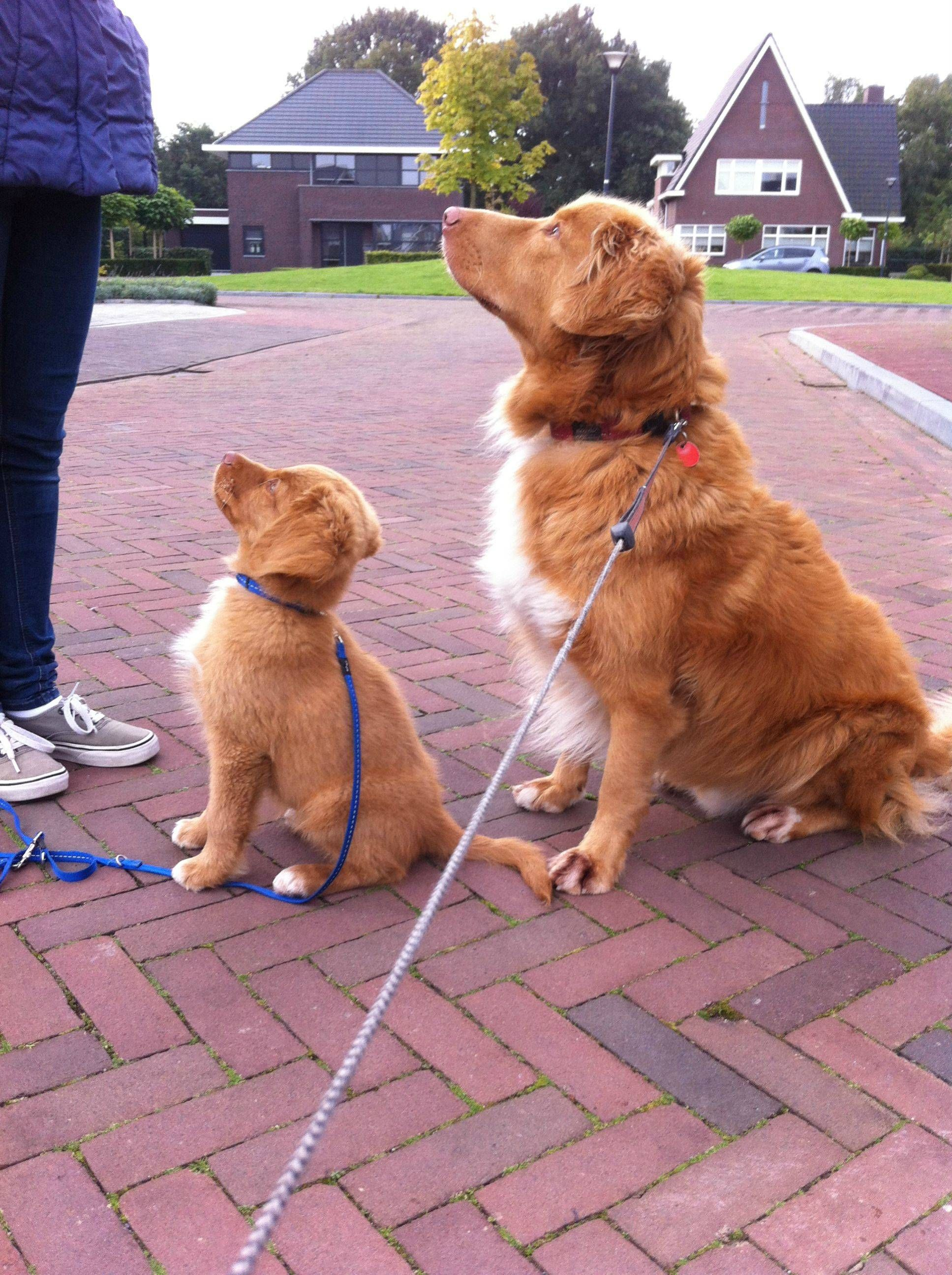 Via Reddit Proud Of Our Boys Finn 2 5 Months Old And Lewis 6 Years Old Duck Tolling Retrievers Dogs And Kids Dogs Retriever Puppy