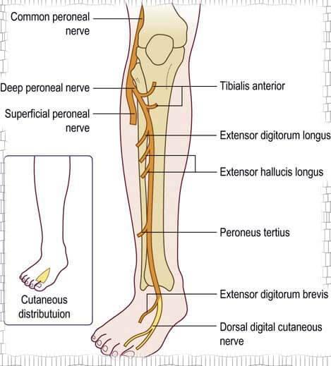 Peroneus Profundus nerve Peroneus Profundus sinir Sinirler ve İnnerve  Ettiği Kaslar - Fizyoo | Anatomi ve fizyoloji, Tetik noktaları, Anatomi
