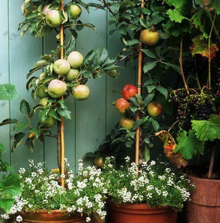 Saulenobst Im Kubel Bepflanzung Pflanzen Garten