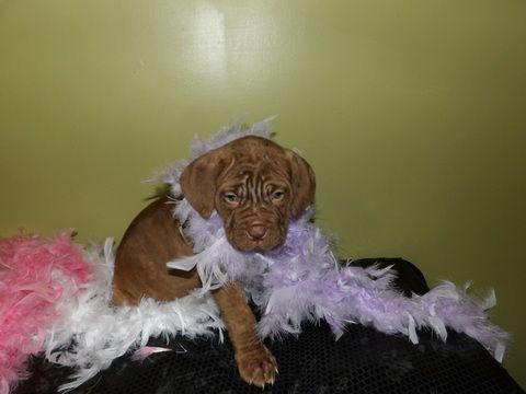 Neapolitan Mastiff Puppy For Sale In Lakeland Fl Adn 61470 On