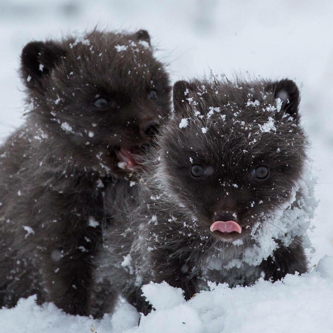 Petits loups