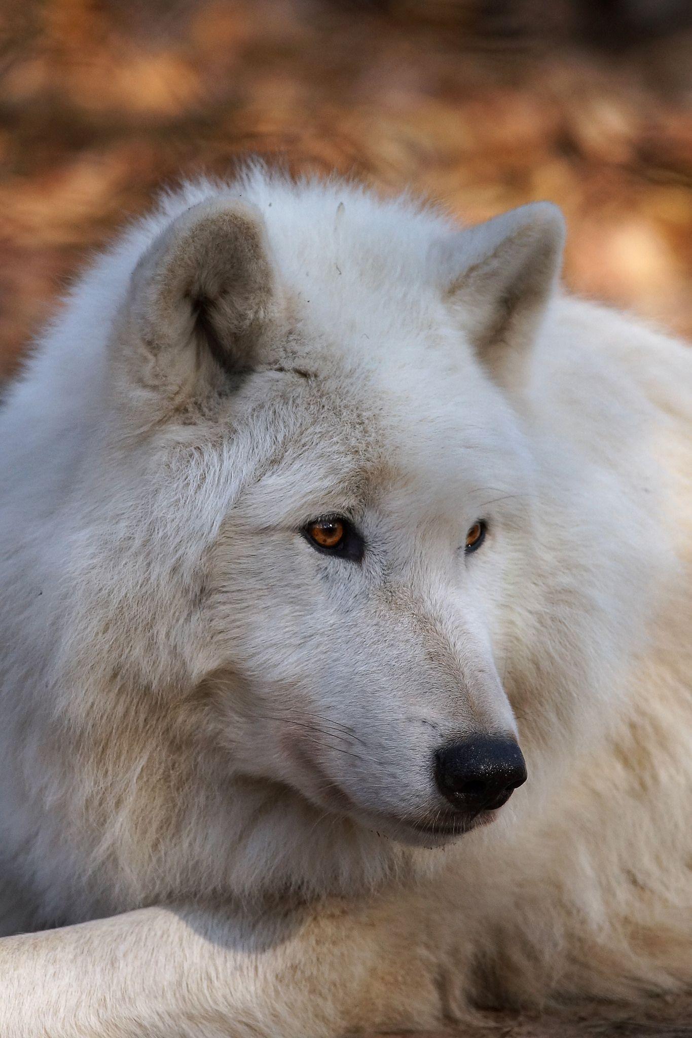 Arctic Wolf by Photofreak587**