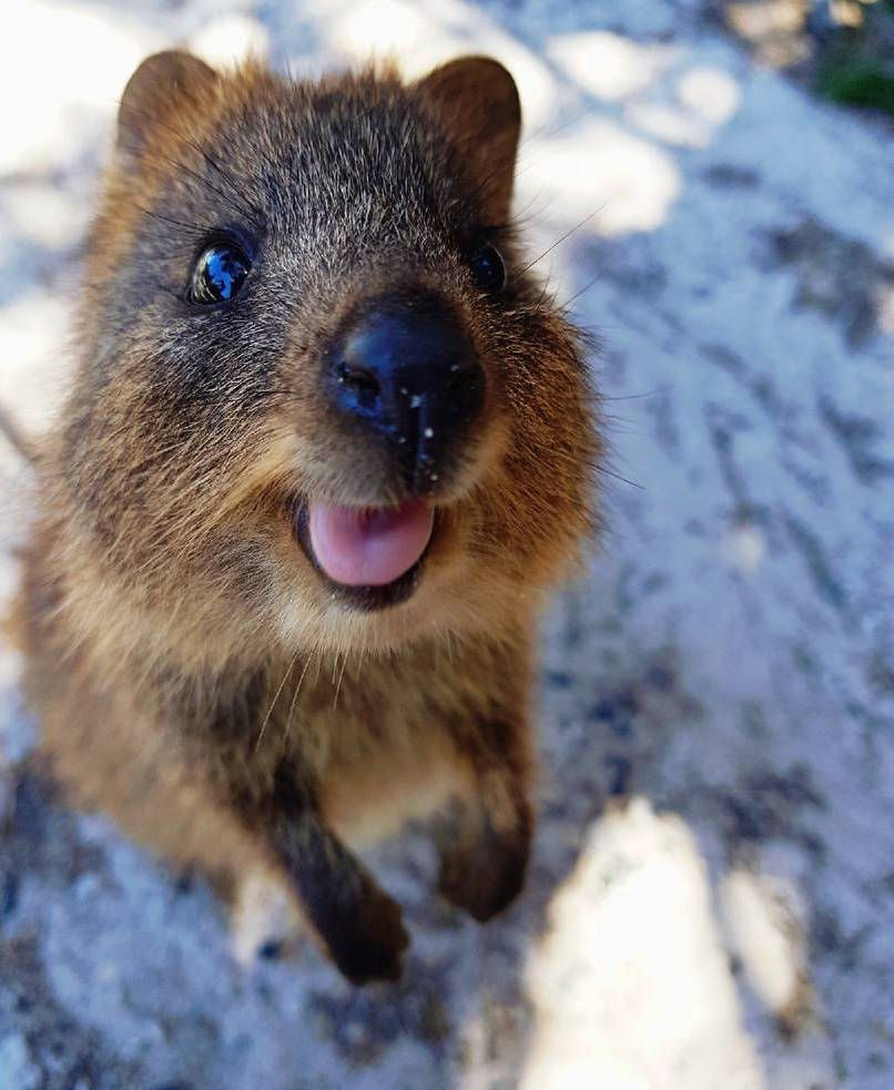 Quokka Cute Animals Animals Beautiful Quokka