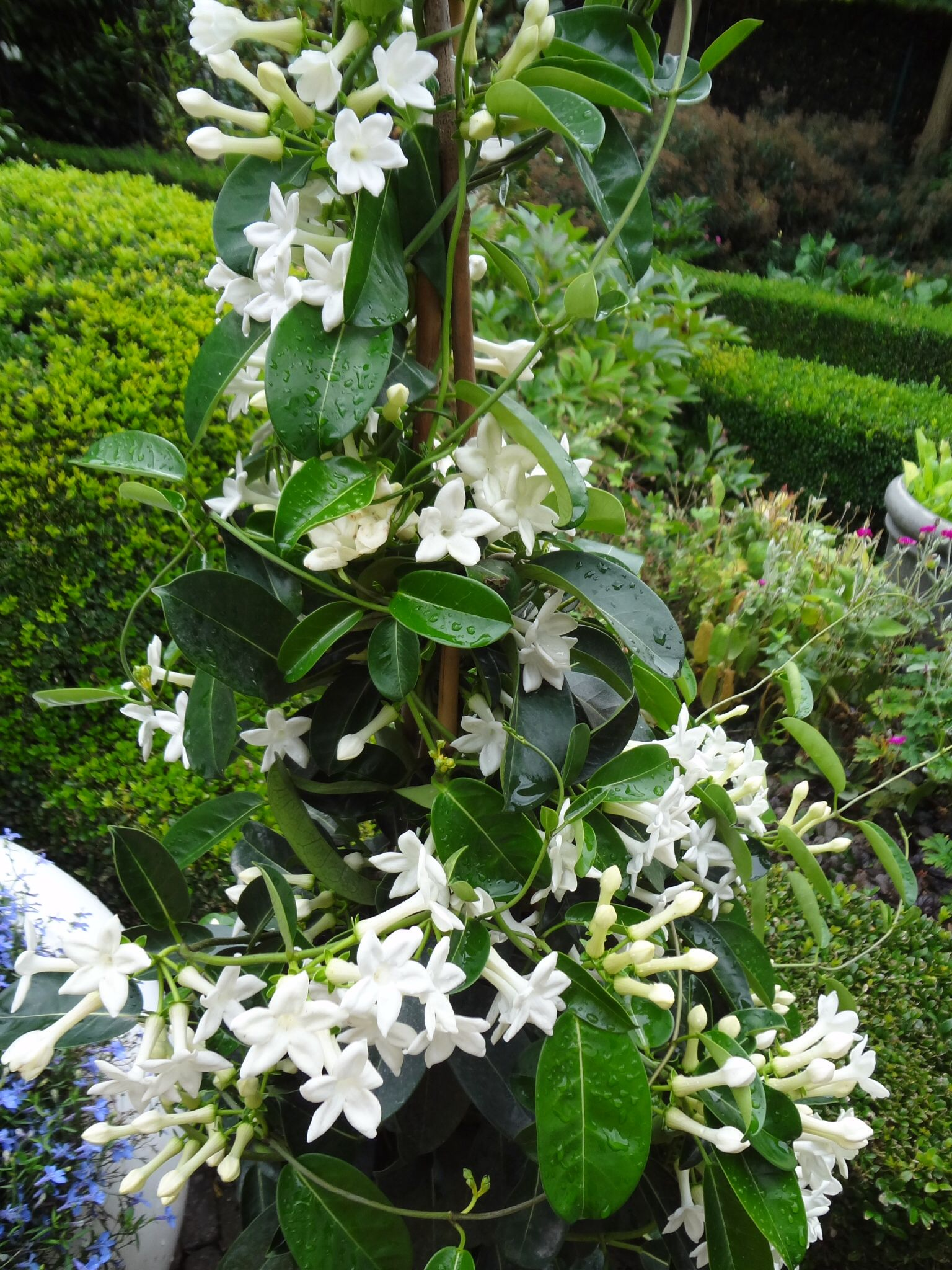 Orange Jasmine-Honey Bush Fragrance Flower Plant for Home Garden Courtyard Grow