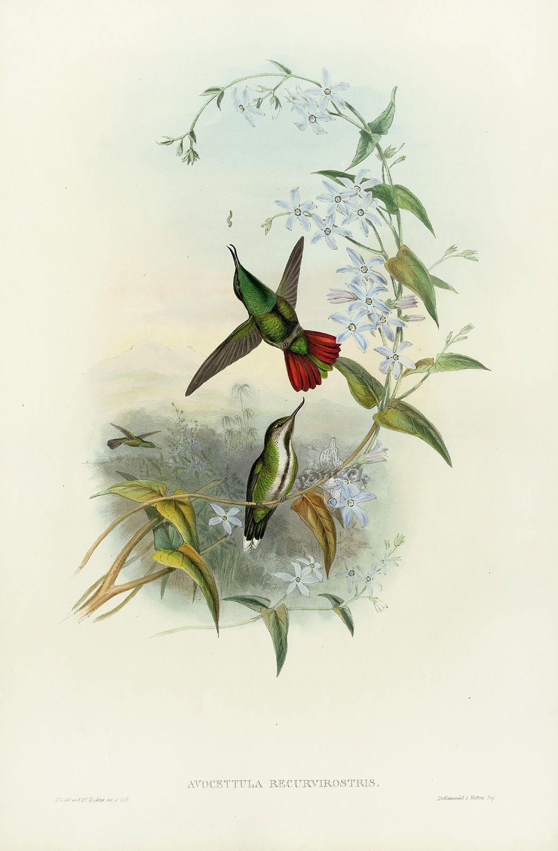 john gould antique hummingbirds prints 1861