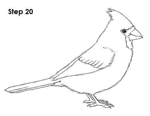 How To Draw A Cardinal Video Step By Step Pictures Bird