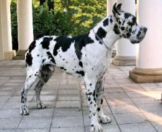 Great Dane German Dog Names Dog Names Great Dane Dogs