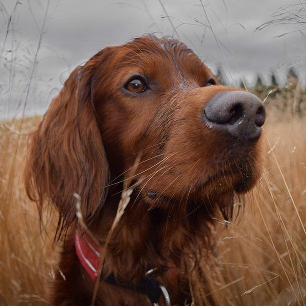 EDITOR'S PICK! Troja the Irish Setter by George Rotan: http://ift.tt/1j2zXFK. (IG: @george_and_troja)   Our dear friend Troja refuses to let a little water get in the way of her looking ABSOLUTELY FABULOUS!!  #irishsetter #irishsetters #irishsettersofinstagram #irishsetterlove #irishsetterlife #irishsetterofinstagram #irishsetterworld by bestofpack