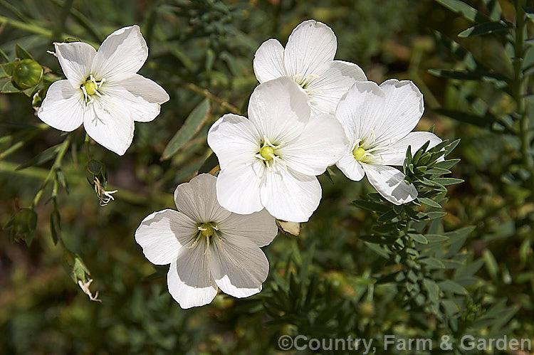 Photo Of Linum Monogynum White Flowers Photo New Zealand Flax