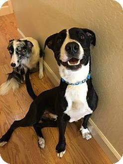 Pin On Border Collies Available For Adoption