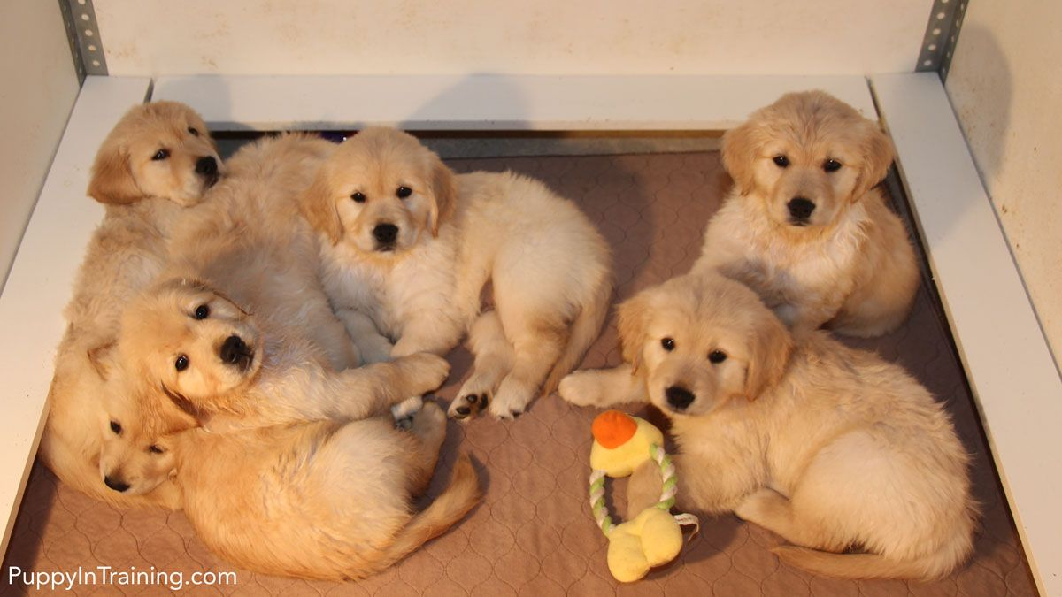 Our Litter Of Golden Retriever Pups Week 7 Puppies Cute