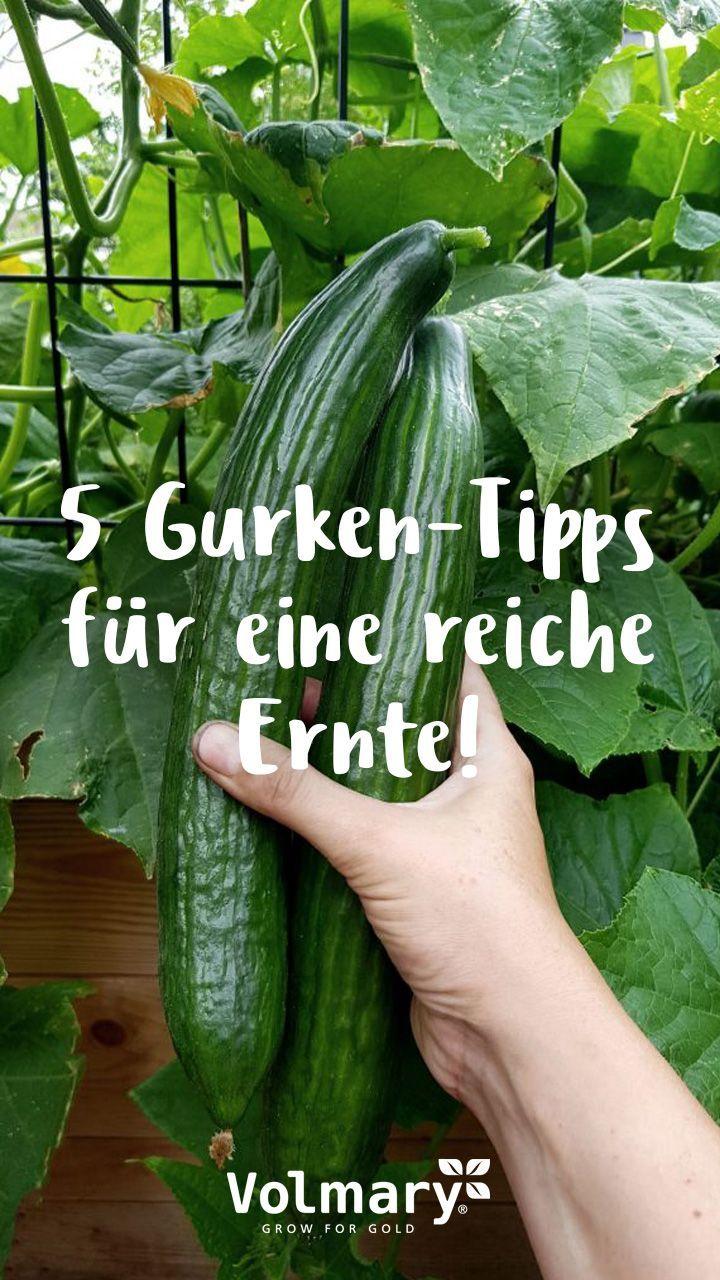 Gurken pflegen – Tipps für eine reiche Ernte – Plant Happy®