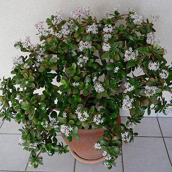 Ces Plantes Depolluantes Qui Vont Purifier Votre Interieur Crassula